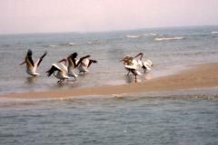 pelicans copy