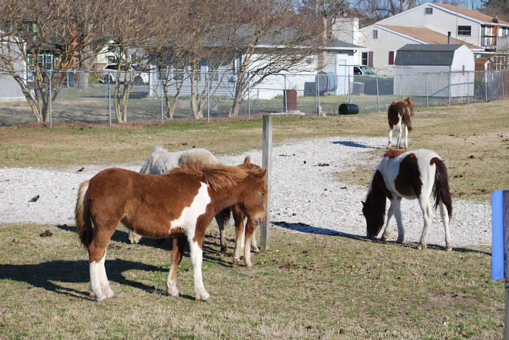 2016 Buyback Ponies at the Carnival Grounds