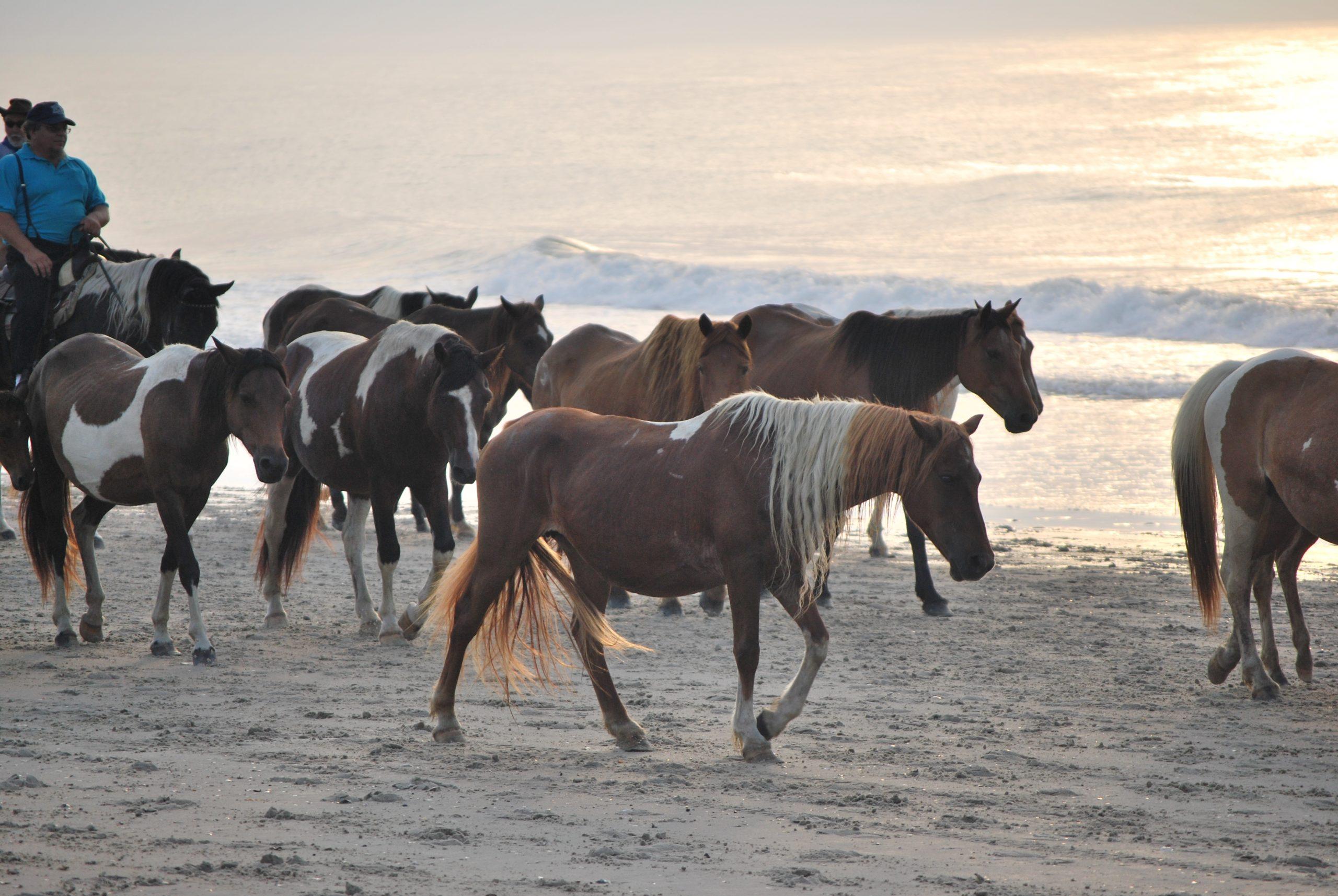 Chincoteague Ponies Walk the Beach